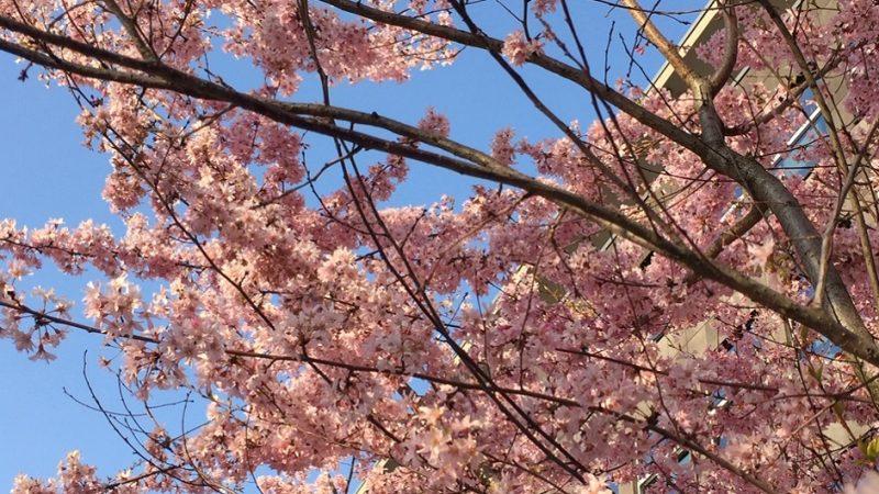 Was Kirschblüten mit Dankbarkeit zu tun haben